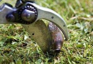 Bästa sättet att döda en mördarsnigel är att klippa av den strax bakom huvudet.
