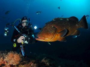 Havsabborrar finns det gott om i de skyddade vattnen runt Port-Cros.   Foto: Turtle Prod.