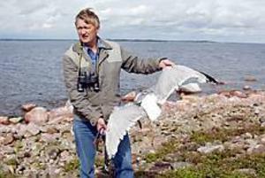 Fint exemplar. Den här gråtruten har precis dött till följd av ett mystiskt virus. Ornitologen Per Aspenberg räknar hur många fler som drabbats.