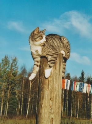 Här sitter Tarzan, kung över Gamla Banan i Norberg. Här har han bra koll om det kommer andra katter och hälsar på. Foto: Wendela Dehlin