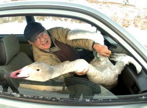 Nisse Lundmark, fågelexpert i Sundsvall saknad av många. Här är dock föremålet för hans hjälpaktion en skadad svan och inte en hotad gök.