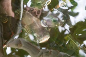 Matfisken tilapia odlas i växthusets bassäng. Bassängens vatten göder växtodlingarna.