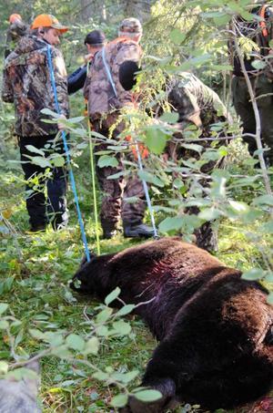 Foto: Ulrika Hedlund. Jaktlaget fick hjälpas åt för att få ut den 217 kilo tunga björnen ur skogen.