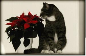 Det här Nils/Nisse  som tycker det blir mysigt när det blir advent o jul. Foto: Lena Andersson