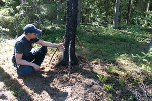 På trädstammen syns spår av vildsvinshår efter att de gnuggat sig mot trädstammen.