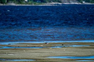 Lågvatten lockar många arter vår och höst, för att vila och äta upp sig inför fortsatt flytt.