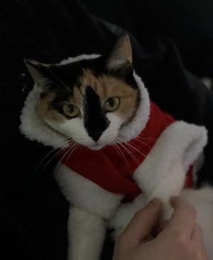 85) Även katter kan va tomte nisse . Luva gick inte o få på na . Men dräkten gick bra . Athena 1 år Foto: Ann-Christin Bergheim