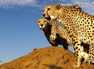 Naankuse Wildlife Sanctuary på savannen söder om huvudstaden Windhoek sköts av det hängivna konservatorparet Rudie och Marlice van Vuuren. De driver lodgen och en rad acklimatiseringsprojekt för vilda djur som råkat illa ut och ska slussas tillbaka ut i det vilda livet. Här två geparder.