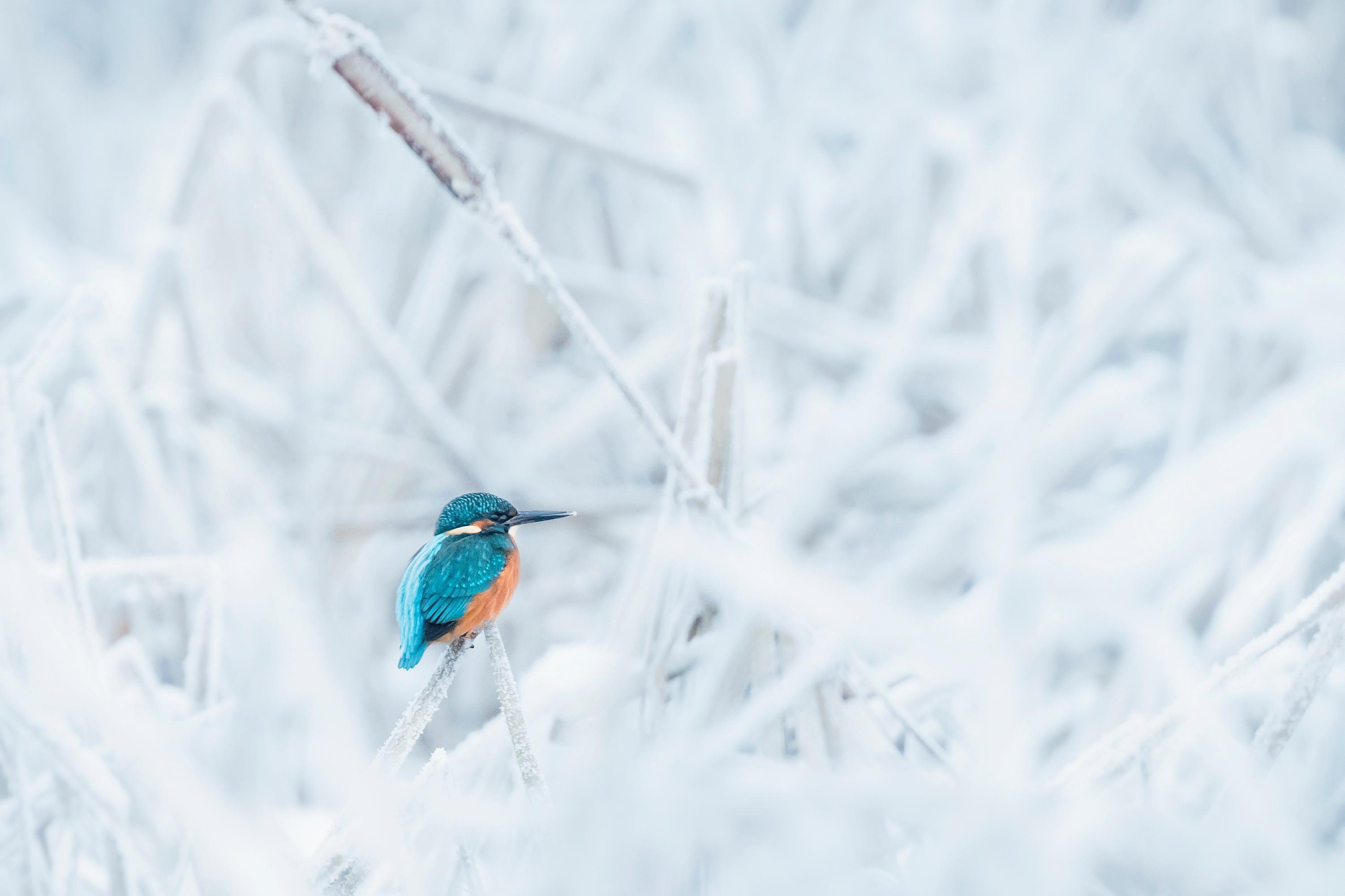I slutet av februari fångade Kumlafotografen Jonas Classon denna Kungsfiskare vid Kumlas reningsdammar. Det öppna vattnet där fick fåglarna att söka sig dit, liksom ornitologerna.