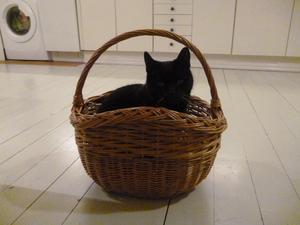 503) Hej jag vill nominera min katt Zola. han har alltid gillat att vara i korgar. Han är också väldigt len och han är värdens gulligaste. Från Ylva Kanth 9 år. Foto: Ylva Kanth