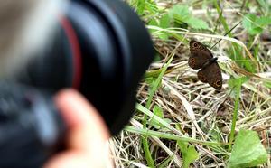 En berggräsfjäril poserade snällt framför kameralinserna.