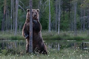 I området i Finland finns en björn som bedöms väga omkring 400 kg och därmed tillhör de största björnarna i Norden. – Hade den velat komma in i en fotokoja hade det varit en lätt match för den, säger Rune Eriksson. FOTO: RUNE ERIKSSON