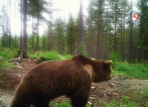 Foton som tagits av en illegal åtelkamera visade hur bland annat björn kom till platsen för att äta kadaver.