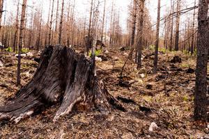 Brända stubbar finns det gott om i brandområdet Lillåsen/Fågelsjö.