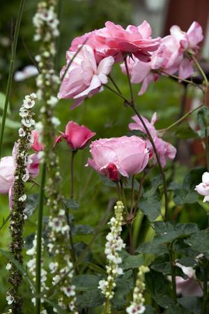 På flera ställen i Anna-Karins trädgård blommar rosor i olika färger.