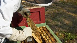 Biodlaren Lennart Wernersson i Badelunda-Myrby sköter om sina bin. Här letar han efter drottningbiet.