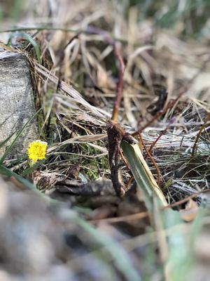 Årets första tussilago i Hättsta utanför Kolsva. Malin Hahre har tagit bilden, som skickades in i början av mars.