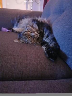 335) Ozzy trött efter att matte har adventspyntat. Så en tupplur på soffan var perfekt! Foto: Carolin Berglöf