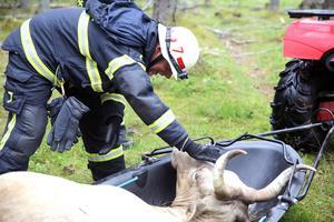 Brandman Johan Bogg klappade  om kon och pratade lugnande med den efter räddningsinsatsen.