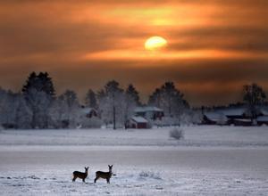 Två rådjur under vintersolståndet ett tidigare år. Bilden togs på ett fält i närheten av Kumla. Arkivbild: Pavel Koubek.