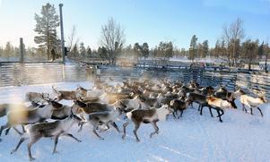 Runt 6 000 renar har samlats ihop i Synnerkölen