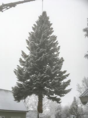 Foto: Petter Gunnarsson. För första gången sedan 1970 svävade granen fritt.