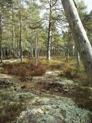 Ersmossen (ligger strax öster om Hallstavik), 61,3 hektar. Tallbevuxen våtmark. En av de största våtmarkerna i området. Kan endast nås till fots och saknar anlagda stigar och besöksanordningar. Foto: Länsstyrelsen