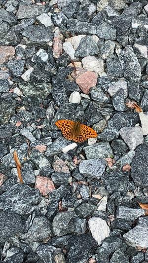 Denna vackra fjäril flög runt oss hos min son i Möklinta, sedan satt den sig på stenarna så vi kunde fota. Foto: Anita Jigmark