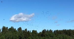 När smolten släpps kommer mängder av skarvar till fiskodlingen i Bergeforsen. Bild: Börje Sahlin.