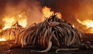 Tiotusen elefantbetar bränns i Kenya. Foto: NonStop Entertainment