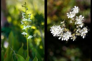 Orkidén nattviol lyser upp med sina små vita blommor i skuggan där den trivs medan torktålig brudbröd lyser vit i solskenet på naturtomten.– Det var väldigt intressant att hitta olika orkidéer som jag inte riktigt lagt märke till tidigare då de är ganska små och diskreta, men som trivs bra här, säger Kaj Widell.