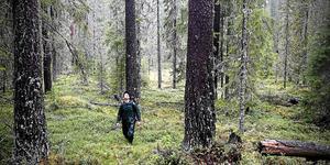Pärmsjöskogen. Mitt emellan Kramfors, Sollefteå och Örnsköldsviks kommuner ligger en orörd pärla av urskog.