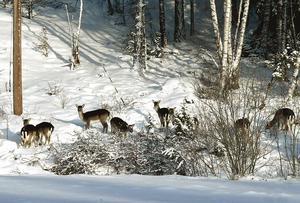 Dovhjortar i snön nära Knösen i Enhörna. Foto: Thomas Brandt