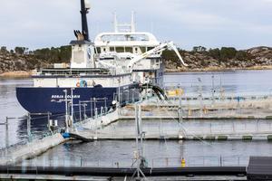 Laxodling i Norge. Foto: Gorm Kallestad / NTB scanpix / TT