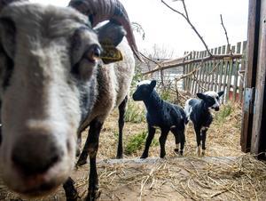 Snart så är det dags för lammen att få gå ute och beta.
