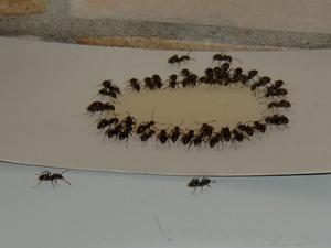 Vårt kök i Nordanby besöks även i år av våra grannar myrorna.