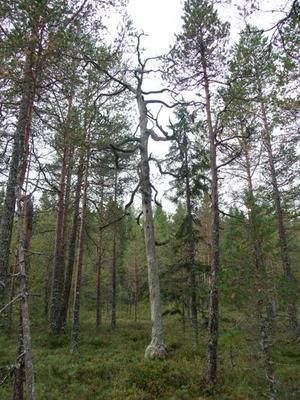 Viks gammelskog blir naturreservat. Bild: Länsstyrelsen Gävleborg.