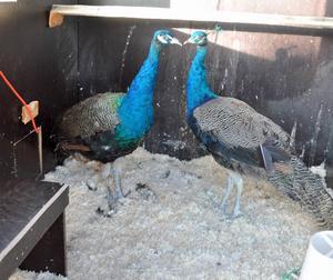Två påfåglar hittades i Funäsdalen på onsdagskvällen. Nu är de omhändertagna i väntan på att en eventuell ägare ska höra av sig.