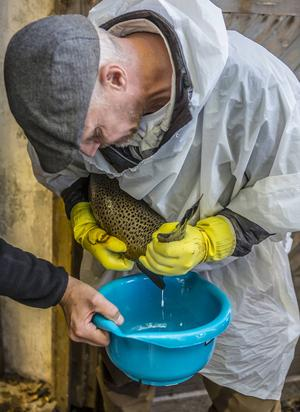 En skvätt mjölke som ska ge framtidens långvandrande havsöring i Harmångersån.