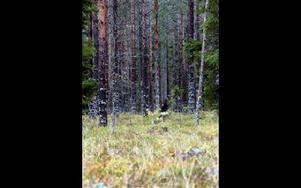 Det enda levade djuret som visade upp sig i älgskogen var en ståtlig tjädertupp vid Digerliden.FOTO:LEIF OLSSON