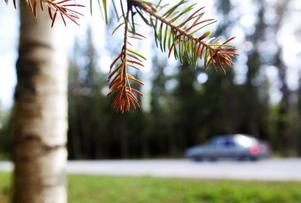 Vägverket undersöker om vinterns vägsalt kan ha påverkat växtligheten intill E14 mellan Bräcke och Brunflo.  Foto: Håkan Luthman