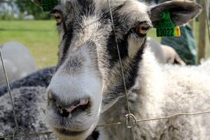 Än går inga får i hagen vid Granvägen.