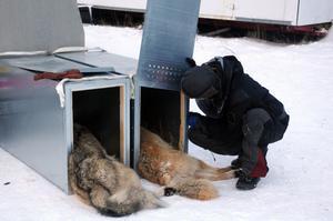 Vargparet har sövts ner och placerats i boxar för avfärd från Idre och transport mot Tiveden i Västra Götaland.