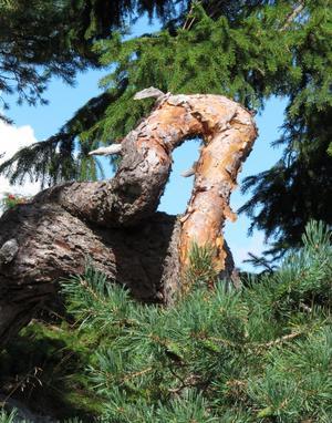 Naturen som konstnär, då kan det bli en sådan fin krokig stam på en vindpinad tall.