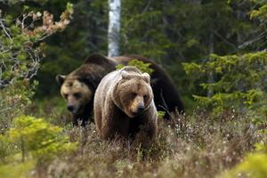 En av Håkans egna bilder från björngömslet. Förra året hade samtliga gäster hela sommaren turen att få se björn.