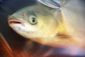 Gräskarpen är en speciell fisk som är den enda av sitt slag.