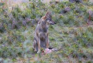 Jagad av de andra vargarna sprang varghanen iväg med sitt byte och lade det på marken.