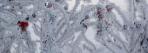 Frostig nyponbuske, taget på gångbron in mot Östersund.