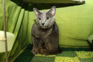 Vackert grönskimrande är både russian blue-kattens ögon och den effektfulla inredningen i utställningsburen. På bilden ses en av rasens verkliga skönheter Romanenko´s Kalashnikov ägd av Thomas Johnsson.