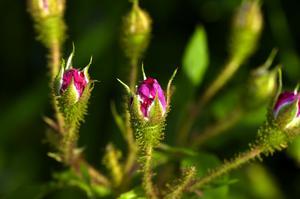 Mossbevuxen. Rosa centifolia muscosa William Lobb tillhör mossrosorna och är bevuxen med mossliknande doftkörtelhår på knopparna.